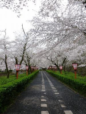 桜のトンネルが出迎えてくれます。
