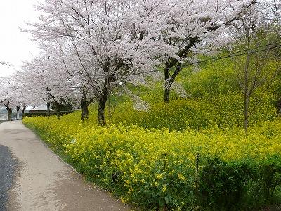 菜の花と桜の競演。