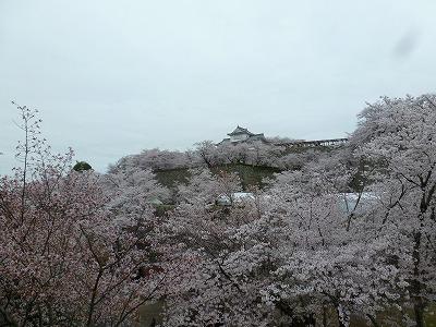 備中櫓の下に広がる桜の海。見事に咲き誇っています。