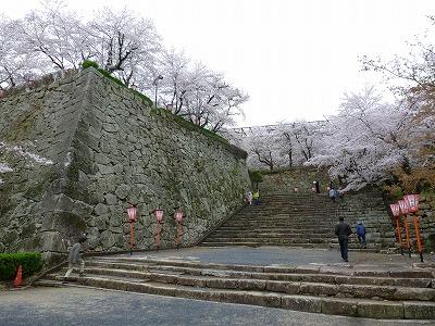 鶴山公園の魅力は、何といっても石垣に映える桜の美しさ。