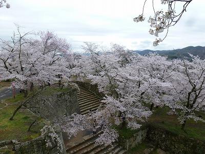 石段を埋め尽くす桜。