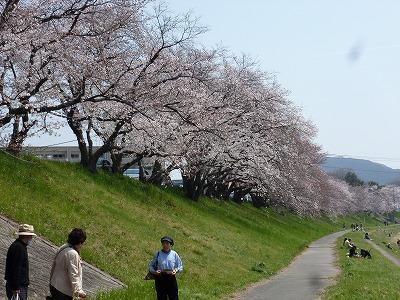 —淡いピンク色の花が咲き誇る後楽園河川敷。平日にも関わらず、大勢の人で賑わっていました。